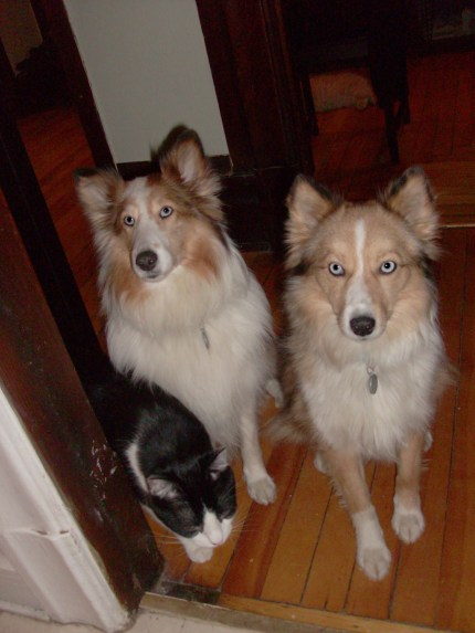 Tulip Roxy and Alaska waiting at the kitchen door for supper!